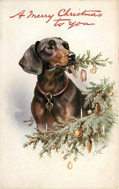 dachshund chewing Christmas tree looking right                              …