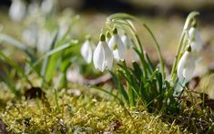 snowdrops are great for planting in shady spots under shrubs and trees The top 8 spring flowering bulbs to plant in autumn Spring Flowering Bulbs, Blooming Plants, Flowering Plants, Winter Plants, Winter Flowers, Start Of Winter, Garden Shrubs, Deciduous Trees, Gardening Tips