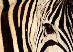 Thanda - Zebra
