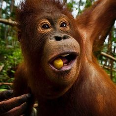 Photo by @mattiasklumofficial for @natgeo. An orphaned orangutan in the Nyaru Menteng rehabilitation center in Central Kalimantan, Borneo, Indonesia.