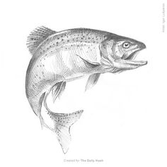 trout fish sketch, pencil drawing