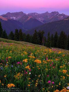 San Juan Wildflowers   San Juan Wilderness, Colorado
