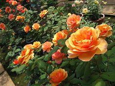 美加美玫瑰-About Face回眸@ Imagination Rose Garden美加美玫瑰花園 ... Shrub Roses, Rose Photos, Shrubs, Peach, Orange, Flowers, Salmon, Nature, Plants
