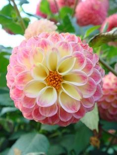 Soft pink and yellow dahlia.