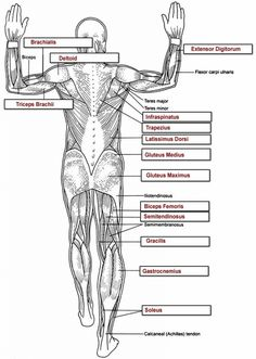 Human Anatomy Labeling Worksheets Tag Muscle Worksheets For Anatomy High School Human Anatomy Diagram