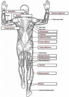 human anatomy labeling worksheets respiratory anatomy