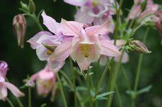 delicate aquilegia, almost orchid-like