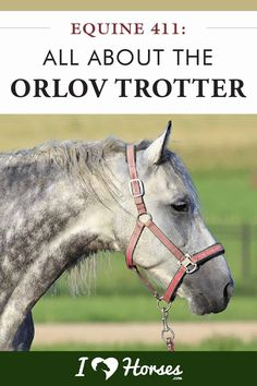 The Orlov Trotter is a stunning horse breed with a unique history like no other horse. Learn all about them here on iHeartHorses.com! | #ihearthorses #horsebreeds #orlovtrotter #horses