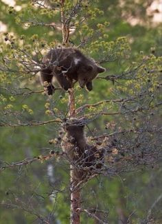 Little bears upon a tree