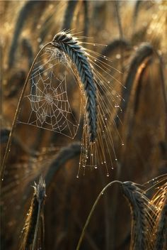 """Nature does the best design work! """" Wheat fields by Mia Morvan """" Spider's Webs """" All Nature, Amazing Nature, Spider Art, Spider Webs, Fotografia Macro, Wheat Fields, Beltane, Belle Photo, Natural World"""