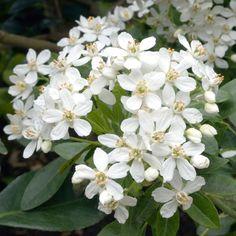 Choisya ternata - Mexican Orange Blossom - sweet smelling good for semi shade