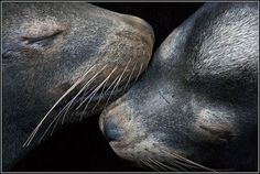 Reunited selkies...I saw a movie years ago about selkies, very cool story :)