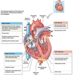 Interior Valves Of The Heart The Cardiovascular System Heart Cardiac Nursing, Nursing Mnemonics, Neonatal Nursing, Medical Coding, Medical Technology, Technology Articles, Technology Innovations, Technology Careers, Technology Design