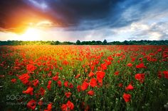 Field full of red poppies by Besmir. @go4fotos