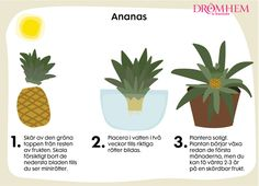 Visste du att du kan odla egen ananas och lök hemma av skrutten som blir över? Faktum är att allt som har sina rötter kvar går att plantera och senare även skörda igen. Fungerar även för dig...