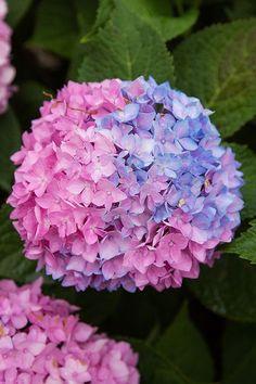 Hortensia Hydrangea, Hydrangea Colors, Hydrangea Care, Hydrangea Flower, Hydrangeas, Beautiful Flowers Garden, Pretty Flowers, Beautiful Gardens, Garden Care