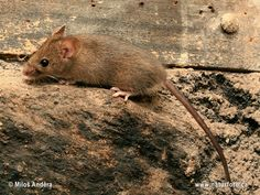 how to live with (or without) wildlife Mouse Photos, House Mouse, Nature Images, Rodents, Kangaroo, Natural Beauty, Wildlife, Pictures, Animals