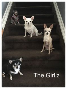 How CUTE are they! Chihuahuas make my heart smile!