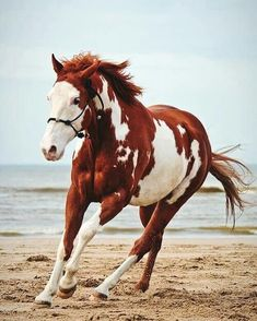 My Biscuit ❤️ American Paint Horse western quarter paint horse paint pinto horse Gypsy Vanner Indian pony solid tovero overo frame sabino Pretty Horses, Horse Love, Beautiful Horses, Animals Beautiful, Cute Animals, Crazy Horse, Horse Girl, Horse Photos, Horse Pictures