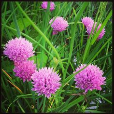 Chives. Recipes at www.monicawilde.com