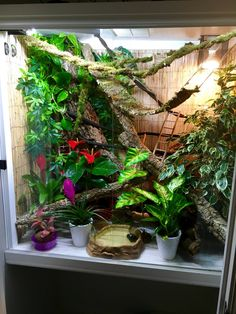 Click this image to show the full-size version. Chameleon Care, Baby Chameleon, Veiled Chameleon, Chameleon Tattoo, Reptile Habitat, Reptile Room, Reptile Cage, Reptile Tanks, Terrariums Gecko