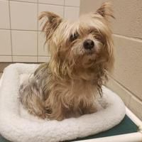 South Bend Indiana Yorkie Yorkshire Terrier Meet Gumbo A For Adoption Https Www Adoptapet Com Pet 27 In 2020 Yorkshire Terrier Yorkie Yorkshire Terrier Yorkie