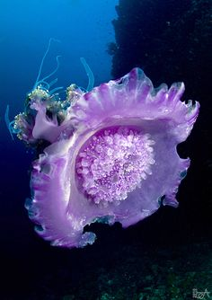 Underwater Photographer Lea Lee - jellyfish