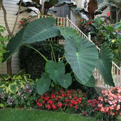 Hardy Tropical Plants You Can Grow! Tropical plants are an amazing statement to add to any garden, offering exotic design sense and wonderful texture and color. Tropical Garden, Tropical Landscaping, Elephant Ear Plant, Plants, Tropical Garden Design, Shade Perennials, Shade Plants, Garden Planning, Backyard