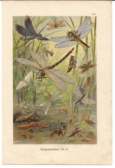 1901 Antique Lithograph of Aquatic Insects by CabinetOfTreasures Dragonfly Insect, Dragonfly Jewelry, Decoupage, Jigsaw Puzzle, Dragons, Art Graphique, Pics Art, A4 Poster, Creations