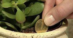 Según el Feng Shui, esto le traerá vibraciones positivas y riqueza. Se cree que la presencia de esta planta en su casa atrae el din...