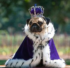 Family album of pampered pugs - in pictures This is how I imagine Iggy being pulled by a Buster drawn carriage. Family album of pampered pugs - in pictures Pugs In Costume, King Costume, Dog Halloween Costumes, Pet Costumes, Animals In Costumes, Animals In Clothes, Puppy Costume, Pugs Dressed Up, Costume Chien