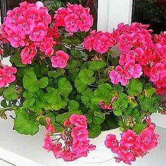 Нужна всего 1 капля йода, чтобы герань всегда радовала цветением! Полезные советы.