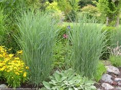 Panicum virgatum Prairie Sky - Kwantlen Polytechnic University, School of Horticulture - Plant Database