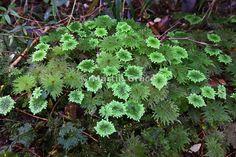 Umbrella moss (Hypopterygium sp.), Valdivian Temperate Rainforest near Chepu, Chiloe Island, Chile