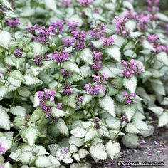 Lamium Orchid Frost makes a great groundcover for shade with variegated leaves and orchid-pink bloom. Only 8 inches tall.