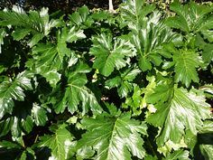 Acanthus mollis, lush in the middle of winter, Sydney
