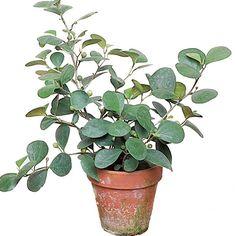 Mistletoe Fig (Ficus deltoidea)