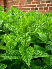 Hierbas fungicidas, plantas de condimentos, plantas medicinales 8