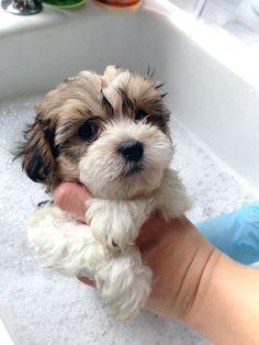Gorgeous Havaton puppy.  Havanese / Coton de Tulear Hybrid Getting a bath!