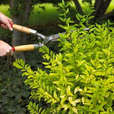 Privet- can be used as a privacy hedge        Golden vicary privet, seen here, has yellow-green foliage and reaches 10 - 12 feet tall. Without shearing, it develops an attractive vase shape. With just a little pruning, it makes a delightful, dense hedge or screen. It bears white flowers in spring, and is drought-tolerant.        Name: Ligustrum x vicaryi        Zones: 5 - 9