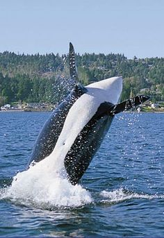 Whales Essay