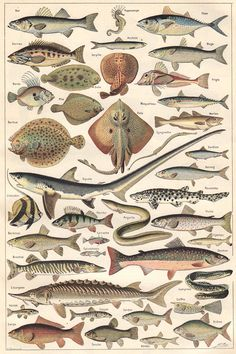 Animal Fishes from a 1922 volume of the French dictionary: Nouveau Larousse Universel.