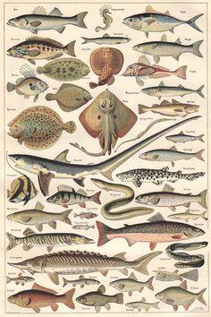Ilustraciones de peces en el Nuevo Larousse Universal de 1922 (edición francesa).