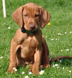 Vizsla- reminds me of my sweet Cooper