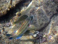 Pesci a Trieste - Miramare P.Rosin
