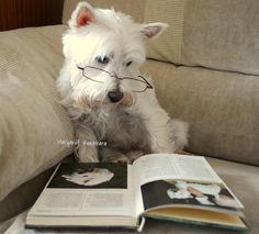 Frosty our Westie, reading a book