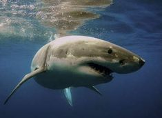 The Great White Shark is arguably the most famous shark species. Find out the maximum weight & length, estimated population, life expectancy and more. Shark Diving, Shark S, The Great White, Great White Shark, Dumb Ways, Environmental Issues, Florida Travel, Underwater Photography, Health And Wellbeing