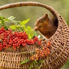 squirrel sitting in a basket with rowan berries Hamsters, Rodents, Chipmunks, Cute Squirrel, Squirrels, Tier Fotos, Belle Photo, Beautiful Creatures, Animal Kingdom