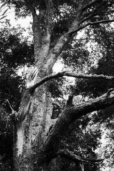 Coihue, árbol nativo de Chile Patagonia, Antonio Mora, Chile, Artwork, Blog, Pictures, Forests, Naturaleza, Work Of Art
