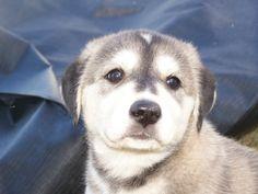 Husky Lab mix! Such a sweet little face!